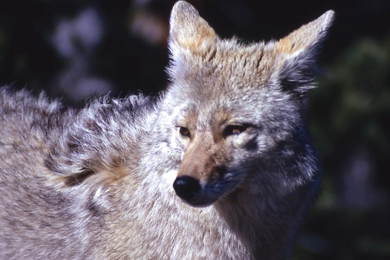 Video: Managing coyote conflicts on the Outer Banks