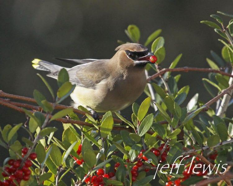 Cedro Waxwing | Galería de pájaros | Houston Audubon