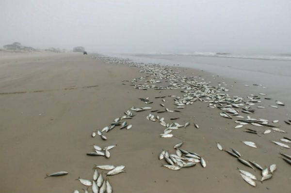 Thousands of dead fish wash ashore north of Corolla